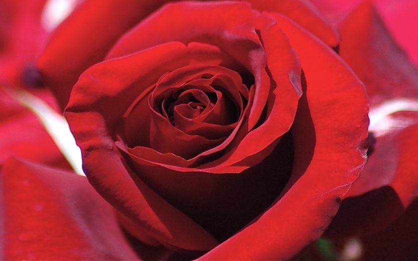 red rose center